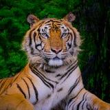 Tigre de Bengala que descansa cerca con el musgo verde por dentro de la selva fotografía de archivo