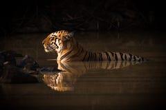 Tigre de Bengala que miente en agujero de agua vago Fotografía de archivo