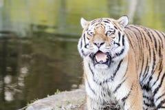Tigre de Bengala que ruge al lado del agua Foto de archivo