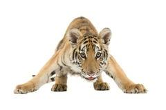 Tigre de Bengala que se agacha Imagen de archivo