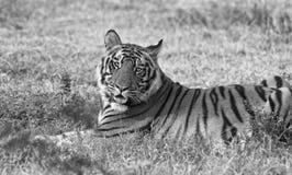 Tigre de Bengala real foto de archivo libre de regalías