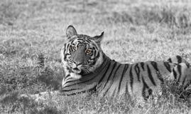Tigre de Bengala real imagen de archivo libre de regalías