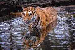 Tigre de Bengala real fotografía de archivo