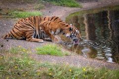 Tigre de Bengala real imágenes de archivo libres de regalías
