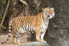 Tigre de Bengala real Fotos de archivo
