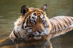 Tigre de Bengala real foto de archivo