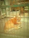 Tigre de Bengala real Imagenes de archivo