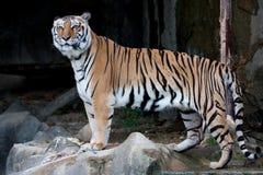 Tigre de Bengala (tigre indio) Fotos de archivo libres de regalías