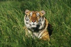 Tigre de Bengale Images libres de droits