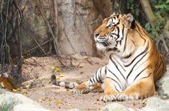 Tigre de Bengale Photo stock