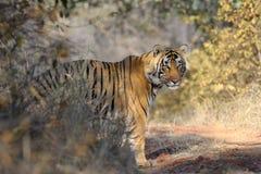 Tigre de Bengale Photographie stock libre de droits