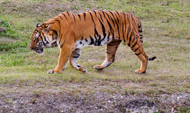 Tigre de Bengale Image stock