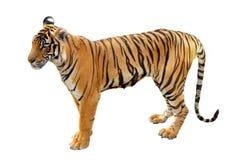 Tigre de Bengale Photos stock