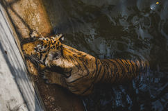 Tigre de Bengale Photos libres de droits