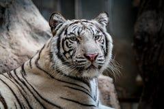 Tigre de Bengale blanc Photographie stock