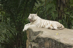 Tigre de Bengale blanc Image libre de droits