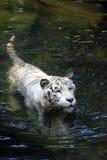 Tigre de Bengale blanc Photo libre de droits