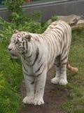 Tigre de Bengale blanc Photo stock