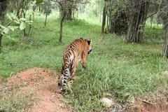Tigre de Bengale d'Indien marchant dans la forêt Photo stock