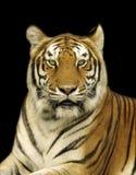 Tigre de Bengale dans l'obscurité Images libres de droits