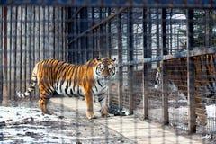 Tigre de Bengale dans la cage Photo libre de droits