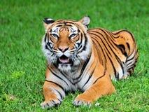 Tigre de Bengale dans un zoo images stock