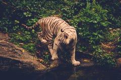 Tigre de Bengale jouant dans une jungle Image stock