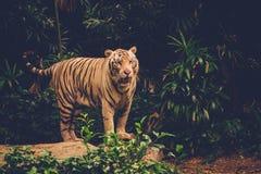 Tigre de Bengale jouant dans une jungle Images stock
