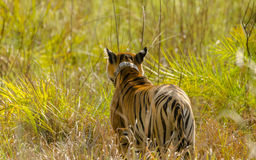 Tigre de Bengale à la belle pose et à l'arrière-plan vert Photos libres de droits