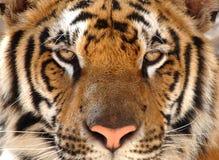 Tigre de Bengale magnifique, lion de chat de la Thaïlande, Asie Image libre de droits