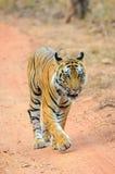 Tigre de Bengale masculin Images libres de droits