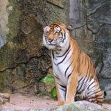 Tigre de Bengale royal Photo libre de droits