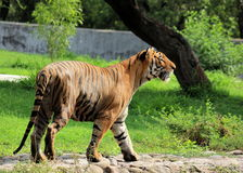 Tigre de Bengale royal - Panthera Tigris Tigris - zoo de Chattbir - Chandigarh - Inde Photos stock