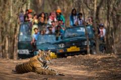 Tigre de Bengale sauvage de mâle du numéro sensationnel A se reposant sur la route et dans des véhicules de safari de fond photos stock