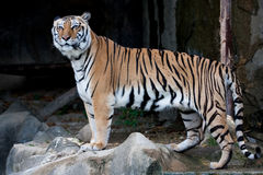 Tigre de Bengale (tigre indien) Photos libres de droits