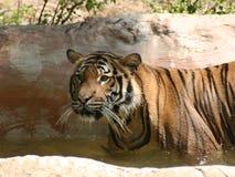 Tigre de Bengel Fotografia de Stock Royalty Free