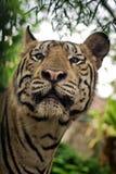Tigre de Benggala Photos stock