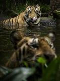 Tigre de Benggala Images libres de droits