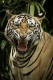 Tigre de Benggala Photo libre de droits