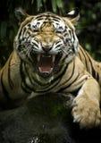 Tigre de Benggala Photographie stock