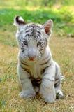 Tigre de blanc de chéri Image libre de droits