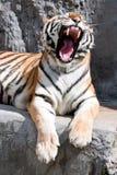 Tigre de bostezo en un parque zoológico Imagenes de archivo