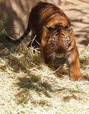 Tigre de chéri Images stock