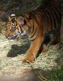 Tigre de chéri Image stock