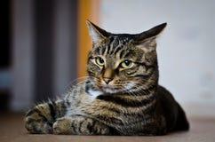 Tigre de chat Image libre de droits
