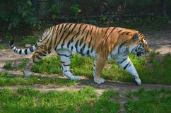 Tigre de déplacement d'Amur Photo stock