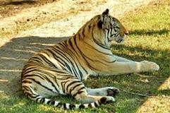 Tigre de descanso Fotografia de Stock Royalty Free