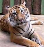 Tigre de encontro Imagens de Stock Royalty Free