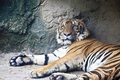 Tigre de encontro Fotografia de Stock
