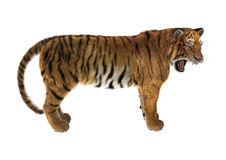 tigre de grand chat Photos stock